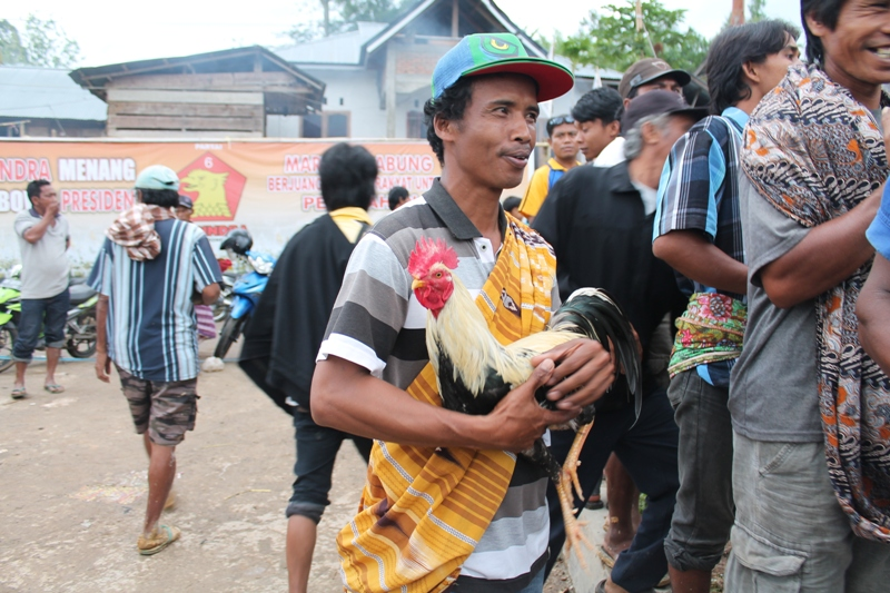 cockfight in Indonesia