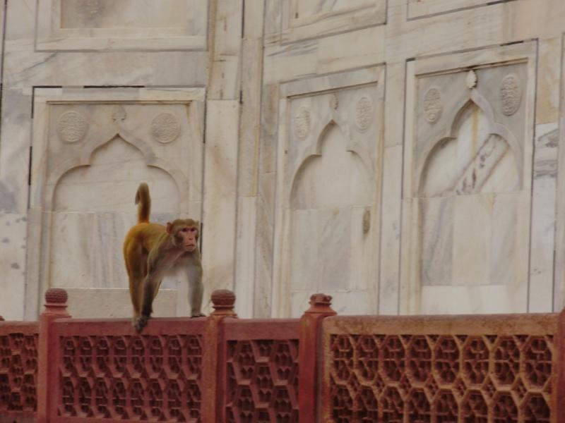 monkey on Taj Mahal