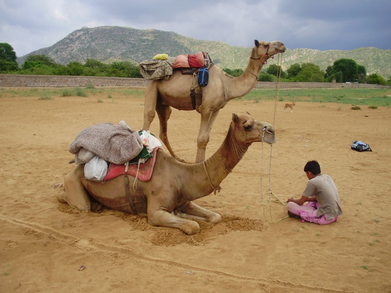 camel ride in Pushkar