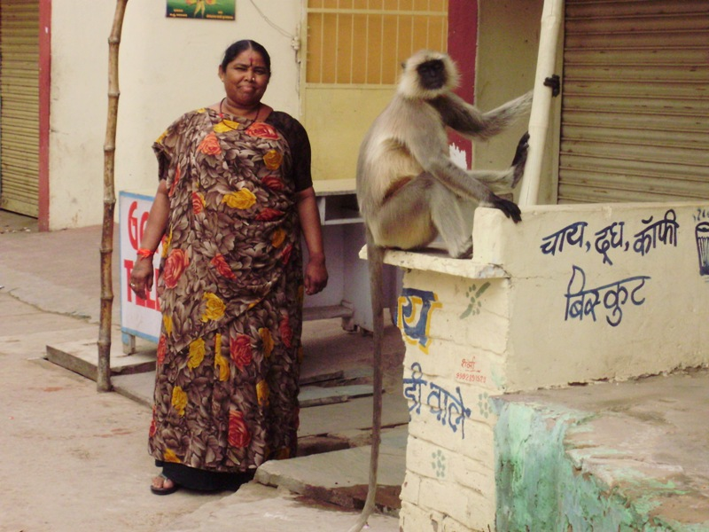 Grey lagur monkeys in Pushkar