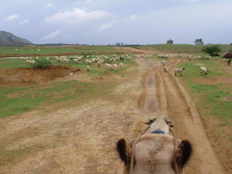 Camel Safari in Pushkar