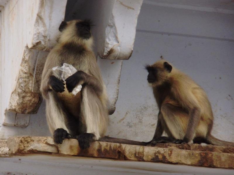 Grey lagur monkeys