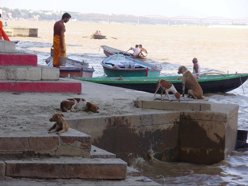 dogs on ghats in Varanasi