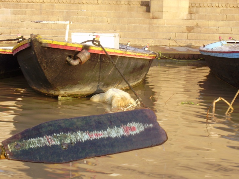 dead cow in Ganges