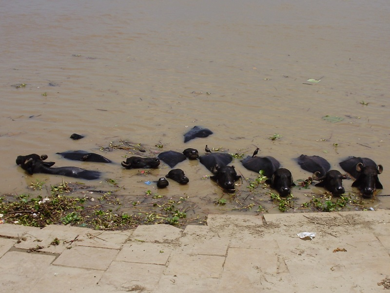 animals on ghats in Varanasi