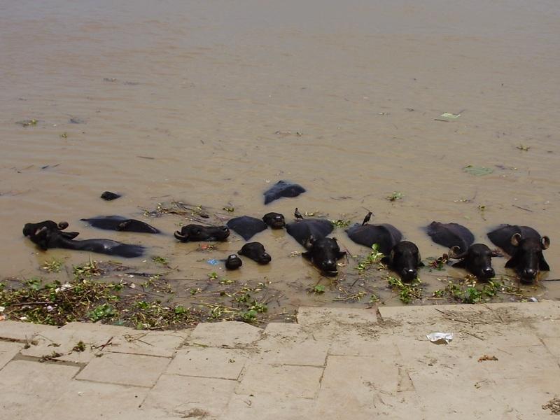 animals on ghats in Varanasi