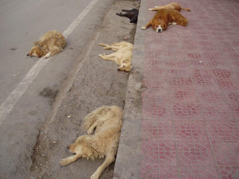 Dogs in Leh