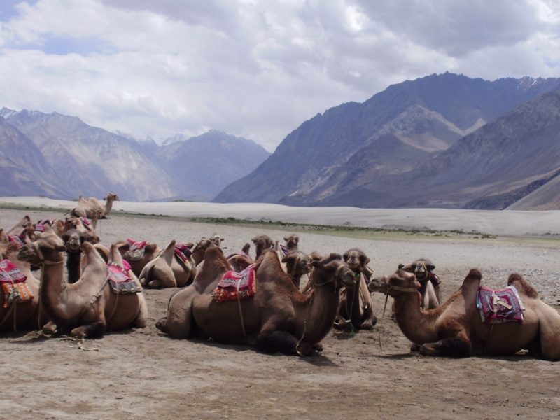bactrian camels in nubra valley
