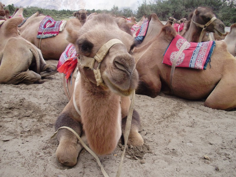 bactrian camel in nubra valley