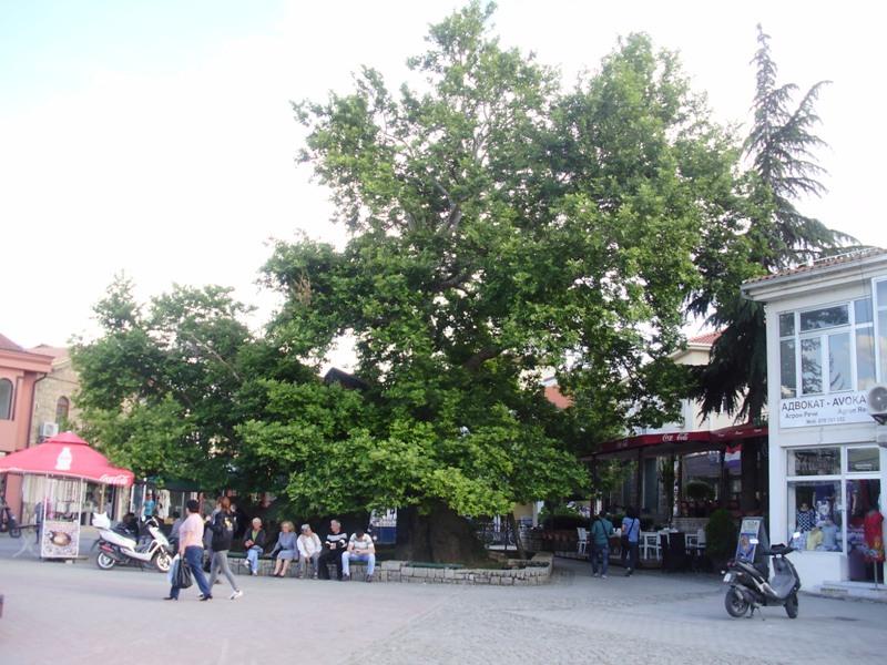 old Plane tree, Ohrid