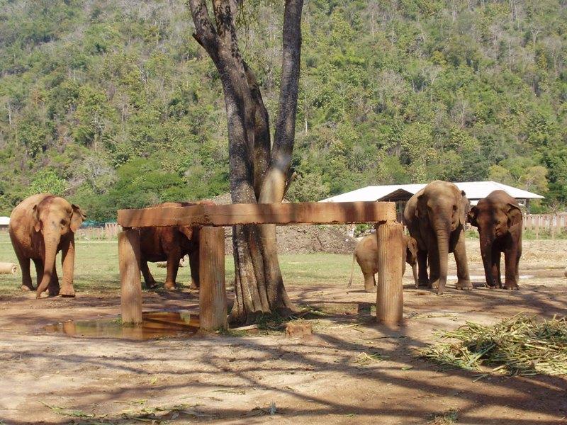 Elephant near Chiang Mai